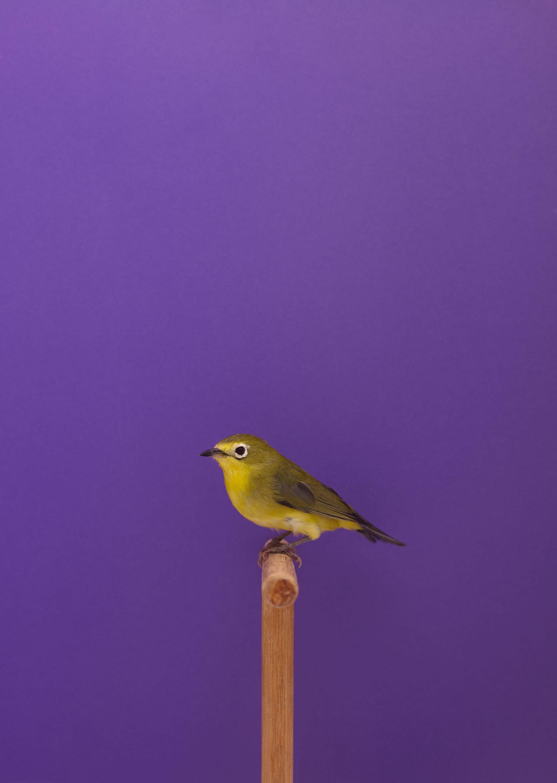 Wren-Agency-Luke-Stephenson-Showbirds-21