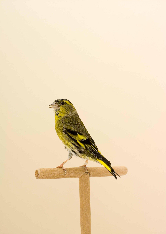 Wren-Agency-Luke-Stephenson-Showbirds-5