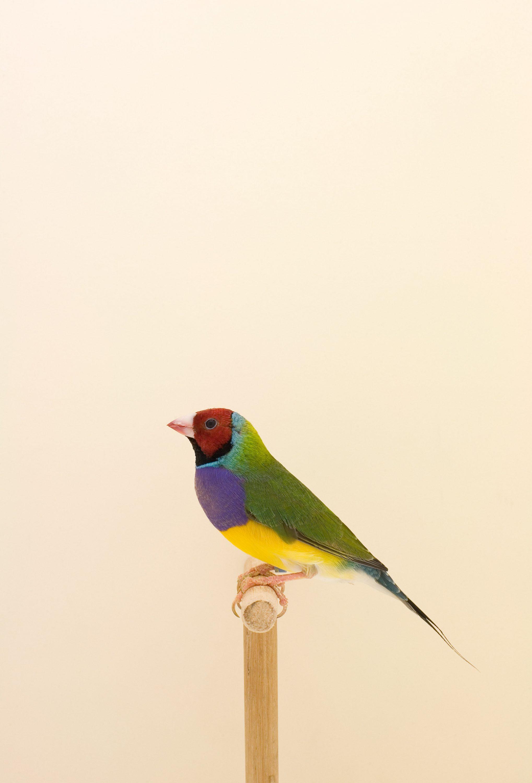 wren_agency_luke_stephenson_incomplete_dictionary_of_showbirds_1