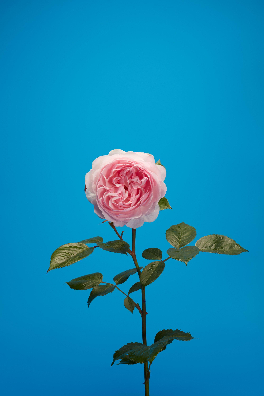 wren_agency_luke_stephenson_roses_1