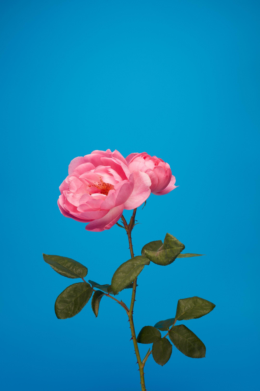 wren_agency_luke_stephenson_roses_11