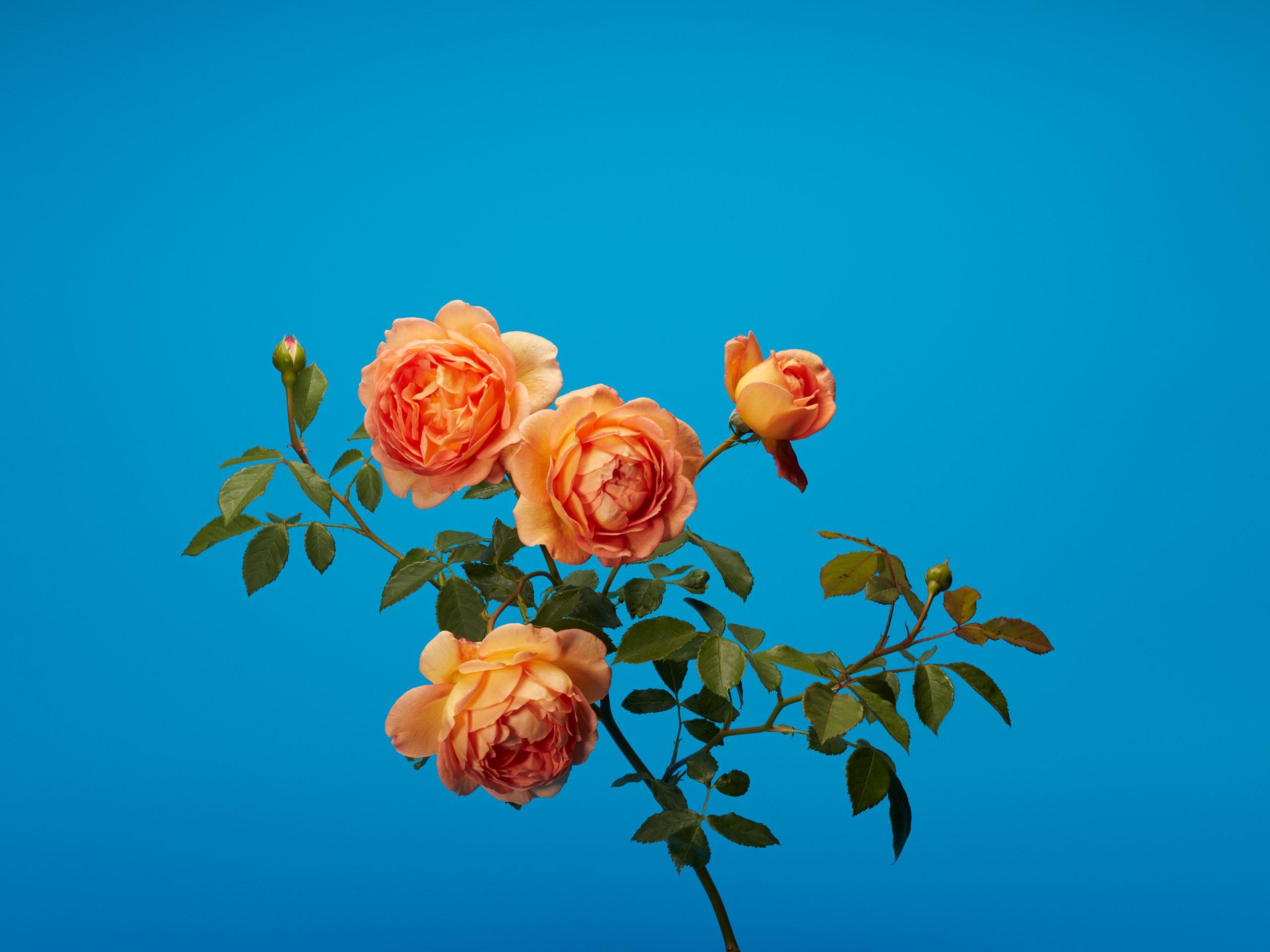 wren_agency_luke_stephenson_roses_12