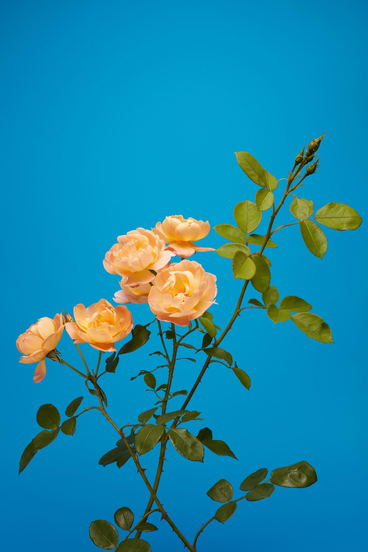 wren_agency_luke_stephenson_roses_14
