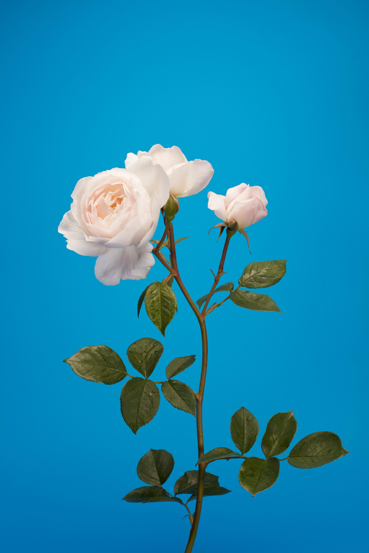 wren_agency_luke_stephenson_roses_2