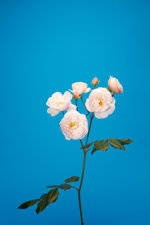 wren_agency_luke_stephenson_roses_8