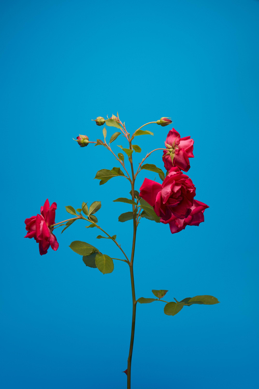 wren_agency_luke_stephenson_roses_9