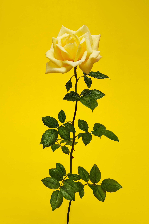 Selfridges_Roses_Shot_05_0025