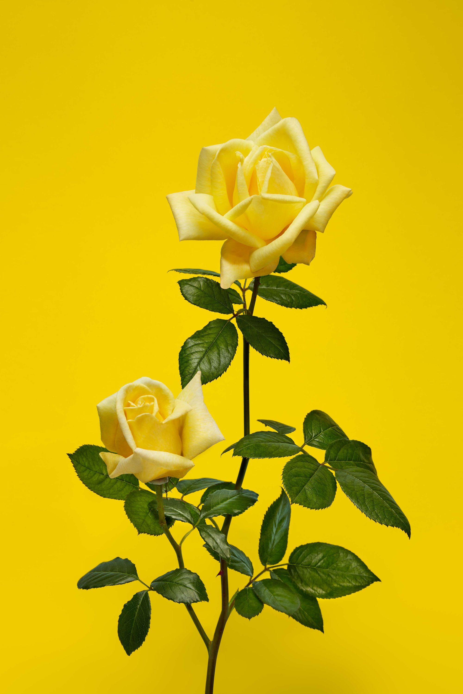 Selfridges_Roses_Shot_12_0045